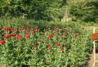 レッドチャーム アメリカ 等の艶やかな赤の芍薬が咲いてますよ