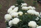 波の花 25センチ大輪の花を咲かせてます