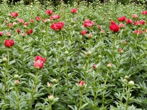 深紅の芍薬が咲き始めますよ