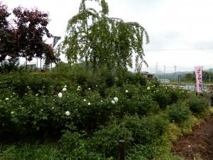 ふくろうの宮の真っ白で香り高い芍薬です