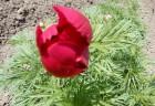 糸葉しゃくやく 昨年と同じように5月11日に開花しました